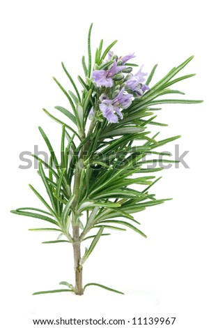 Branch of blossoming rosemary isolated on white - stock photo