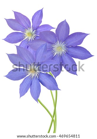 Branch of Blue Clematis flowers