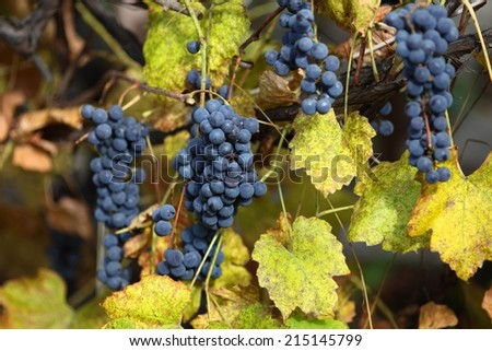 Branch of blue grapes on old vine at autumn day. - stock photo