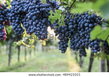 Branch of blue grapes on vine.
