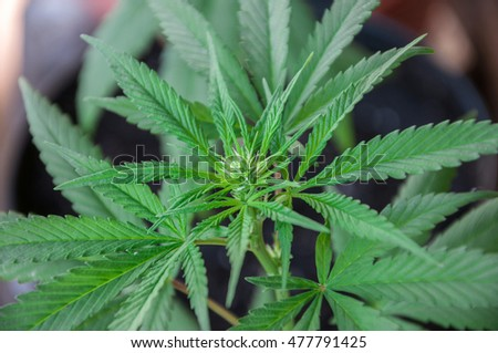 branch of cannabis plant in flowering
