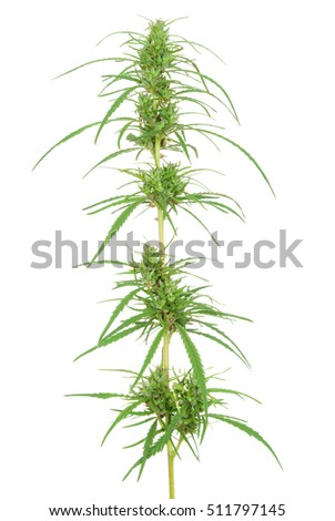 branch of cannabis plant with buds