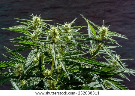 branch of cannabis plant with buds on grunge dark background - stock photo