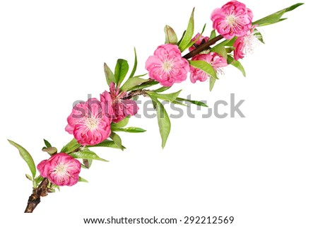 Branch of cherry blossom flower isolated on white background - stock photo