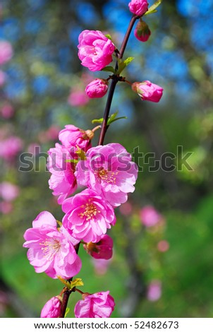 branch of cherry tree flowers closeup