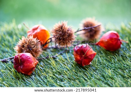 Branch of Chinese Lantern Seed Pods Lying on Grass in Selective Focus - stock photo