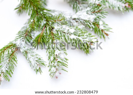 Branch of Christmas tree on white background. - stock photo