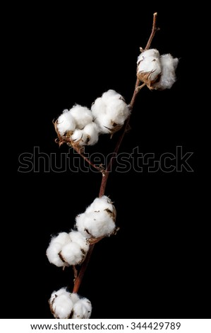 Branch of cotton plant isolated on the black background - stock photo