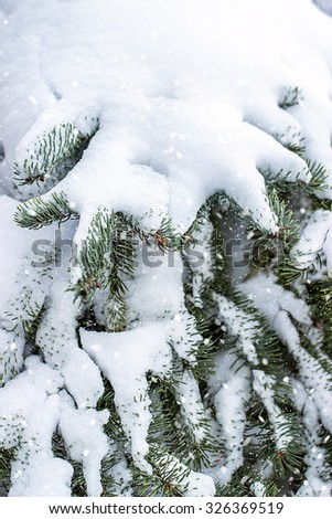 Branch of fir tree in snow, background for text. Christmas and New Year