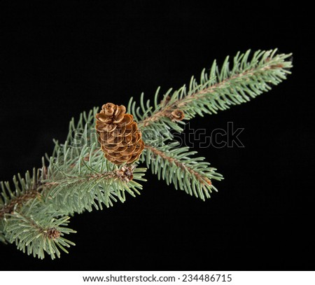 branch of fir-tree on a black background - stock photo