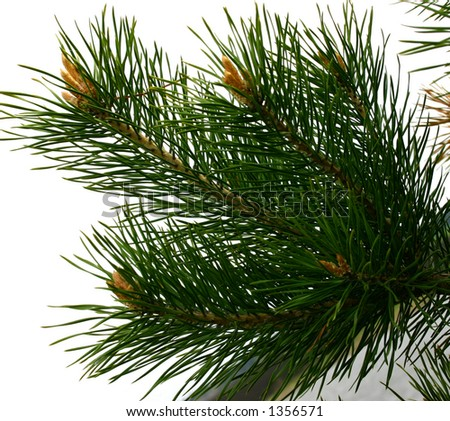 branch of fir with long needles - stock photo