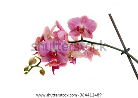 branch of flowers pink orchids