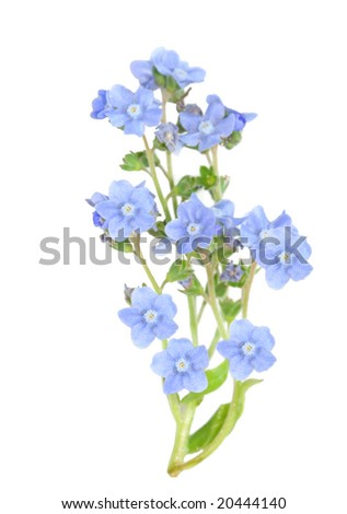 branch of forget me not flower isolated on white - stock photo