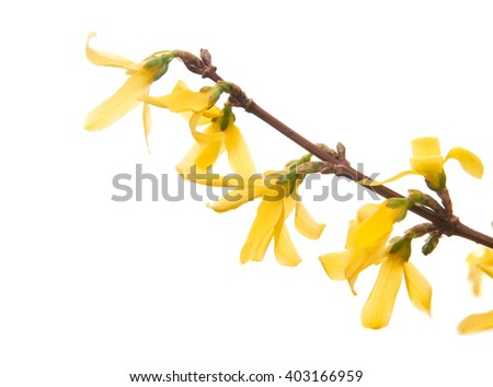 Branch of Forsythia Flower flower isolated on white background - stock photo