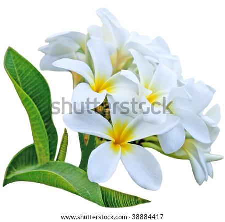 Branch of frangipani flower isolated on white background - stock photo