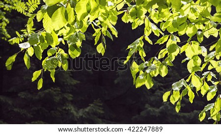 Branch of fresh green beech tree leaves in sun light against dark forest background. - stock photo