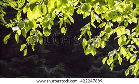 Branch of fresh green beech tree leaves in sun light against dark forest background. - stock photo