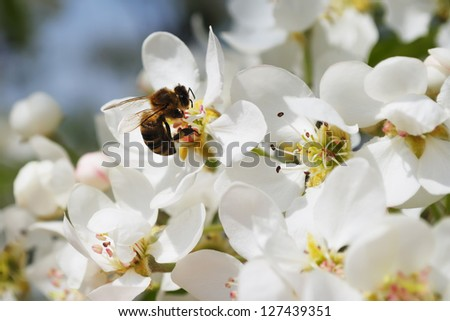 Branch of gentle white flowers of a pear with a bee collecting pollen - stock photo