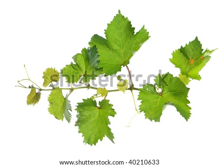 Branch of grape vine on white background - stock photo