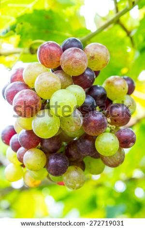 Branch of grapes on vine in vineyard. - stock photo