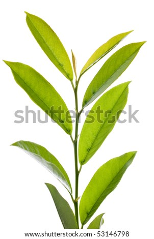 Branch of green leafs isolated on white background. - stock photo