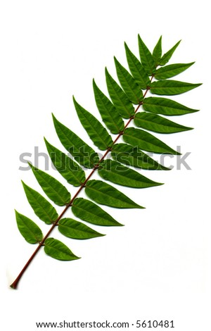 Branch of green leaves on white background.