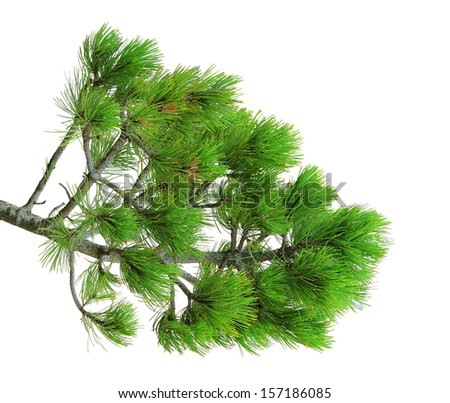 branch of green pine tree, isolated over white