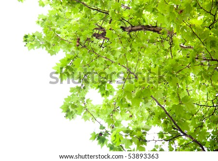 Branch of green  platanus leaves isolated on white background - stock photo