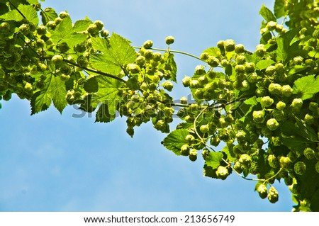 Branch of hop flowers against a blue sky