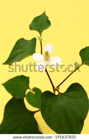 branch of houttuynia cordata fish herb with flower, chinese medicine, dokudami - stock photo