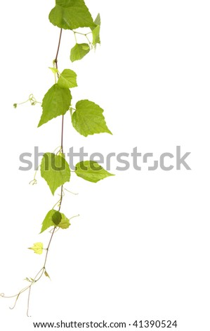 branch of ivy - stock photo