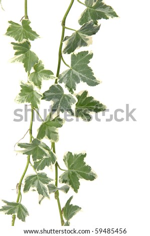 Branch of ivy, isolated - stock photo