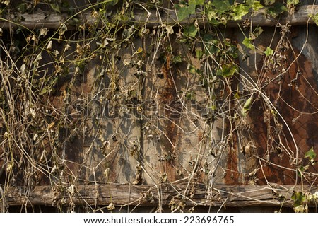 branch of ivy on Old zinc fence background - stock photo