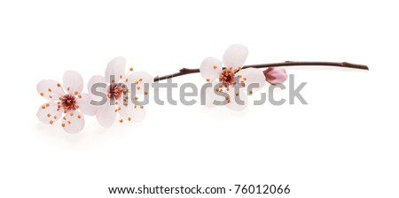Branch of Japanese cherry with blossom, isolated on white - stock photo