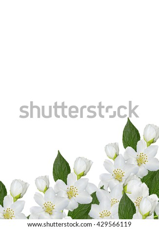 branch of jasmine flowers isolated on white background. spring flowers - stock photo