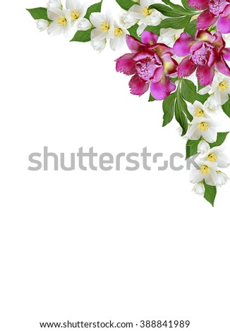 branch of jasmine flowers isolated on white background. spring flowers peony - stock photo
