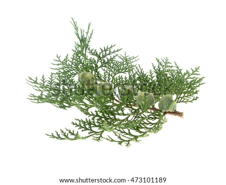 Branch of juniper  with berries ( juniperus communis) isolated on white