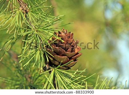branch of larch with an open brown lump