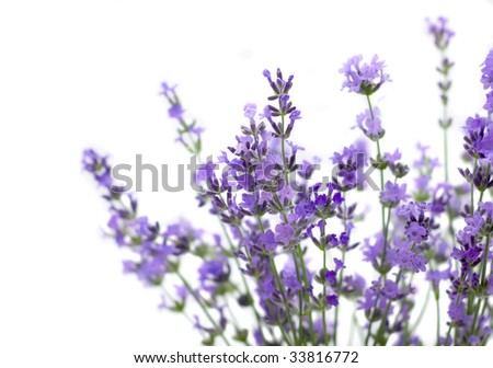 Branch of lavender isolated on white background