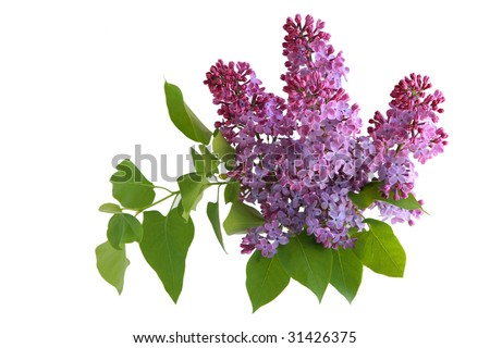 Branch of lilac flower isolated on white background - stock photo