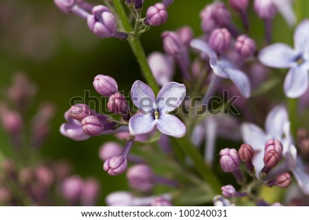 Branch of lilac flowers in the early spring - stock photo