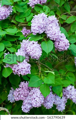Branch of lilac flowers, shallow depth of field