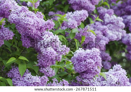 Branch of lilac flowers with green  leaves, floral natural background, soft focus