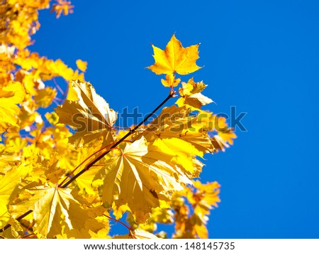 Branch of maple with yellow leaves  - stock photo