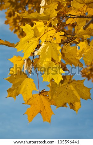Branch of maple with yellow leaves against blue sky - stock photo