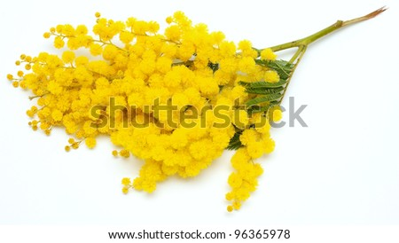branch of mimosa - stock photo