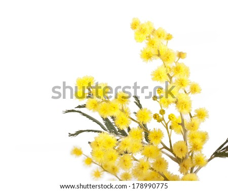 branch of mimosa (acacia) tree with yellow flowers isolated on a white background  - stock photo