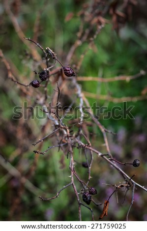 branch of old rose with thorns - stock photo