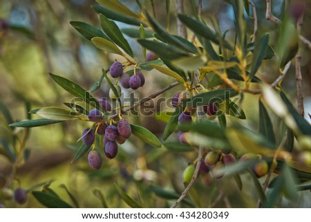 Branch of olive tree with black olives in Tunisia growing in a natural environment - stock photo