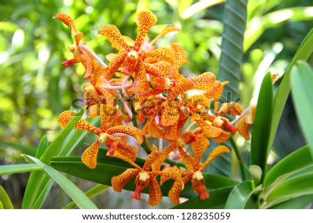 Branch of orange Mokara orchid closeup